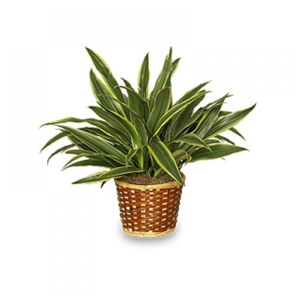 Striped Dracaena Plant