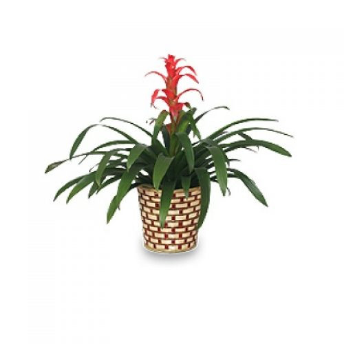 Tropical Bromeliad Plant